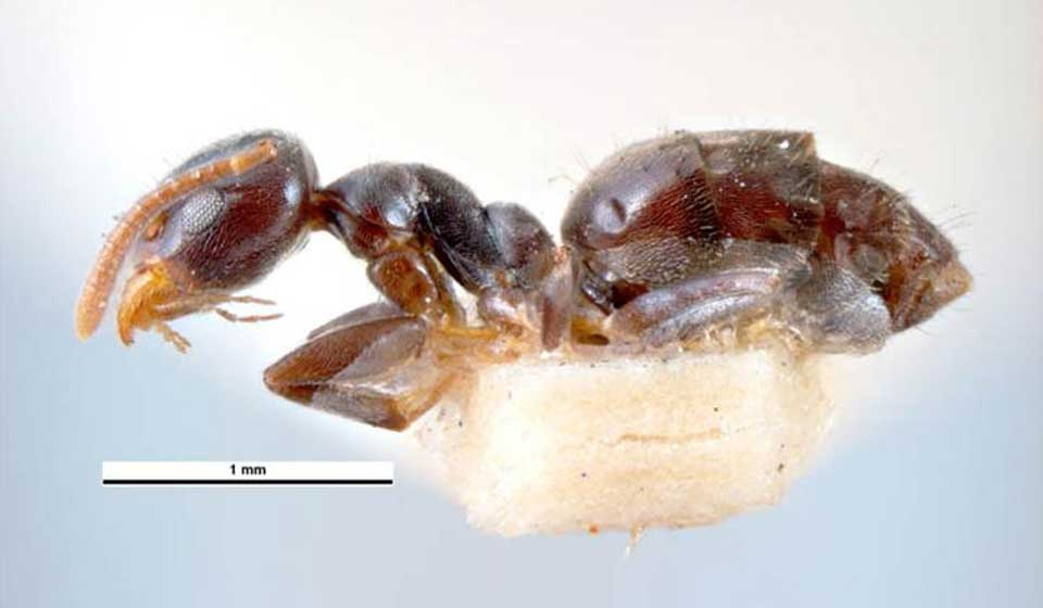 White-Footed House Ant