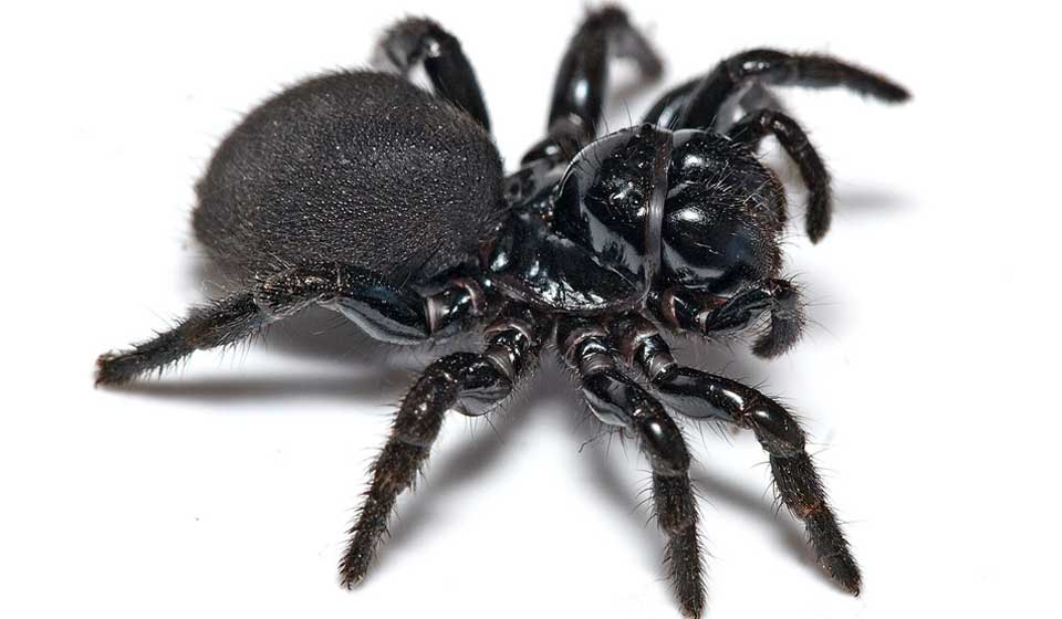 Female Mouse Spider