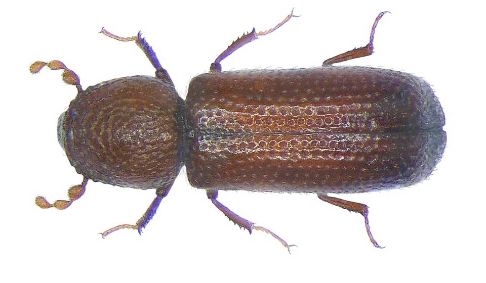 Lesser Grain Beetle