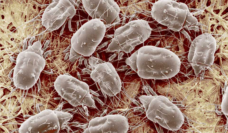 Cheese Mites