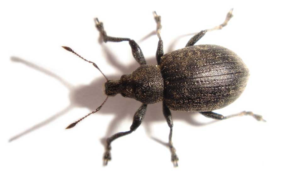 Maize Weevil