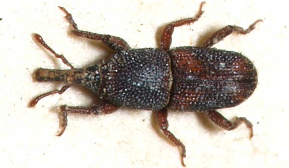 Rice Weevil