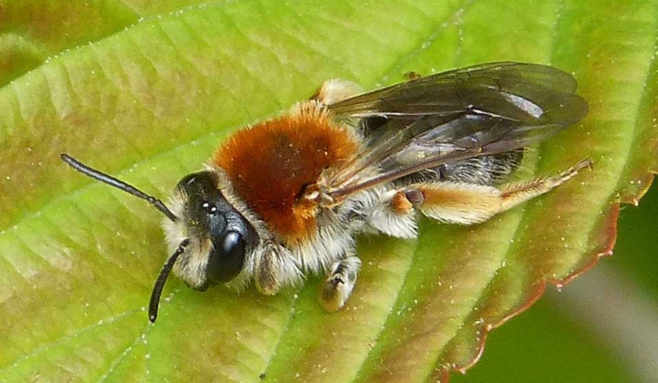 Early Mining Bee